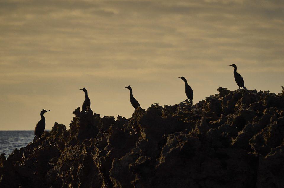 Corbs Marins Menorquins