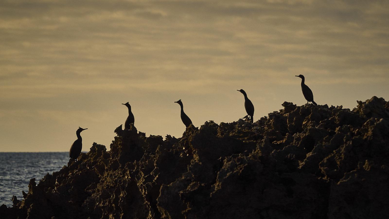 Grup de Corbs Marins als esculls (Son Bou-Menorca)