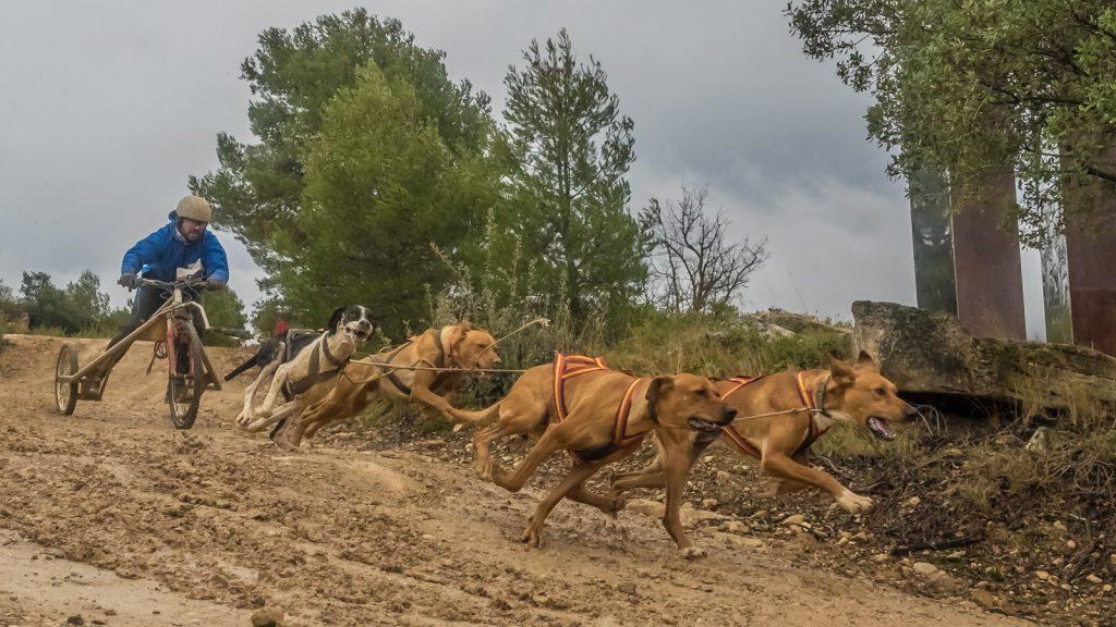 Moment de la Cursa de Tricicles amb gossos (La Pobla de Cérvoles-Lleida)